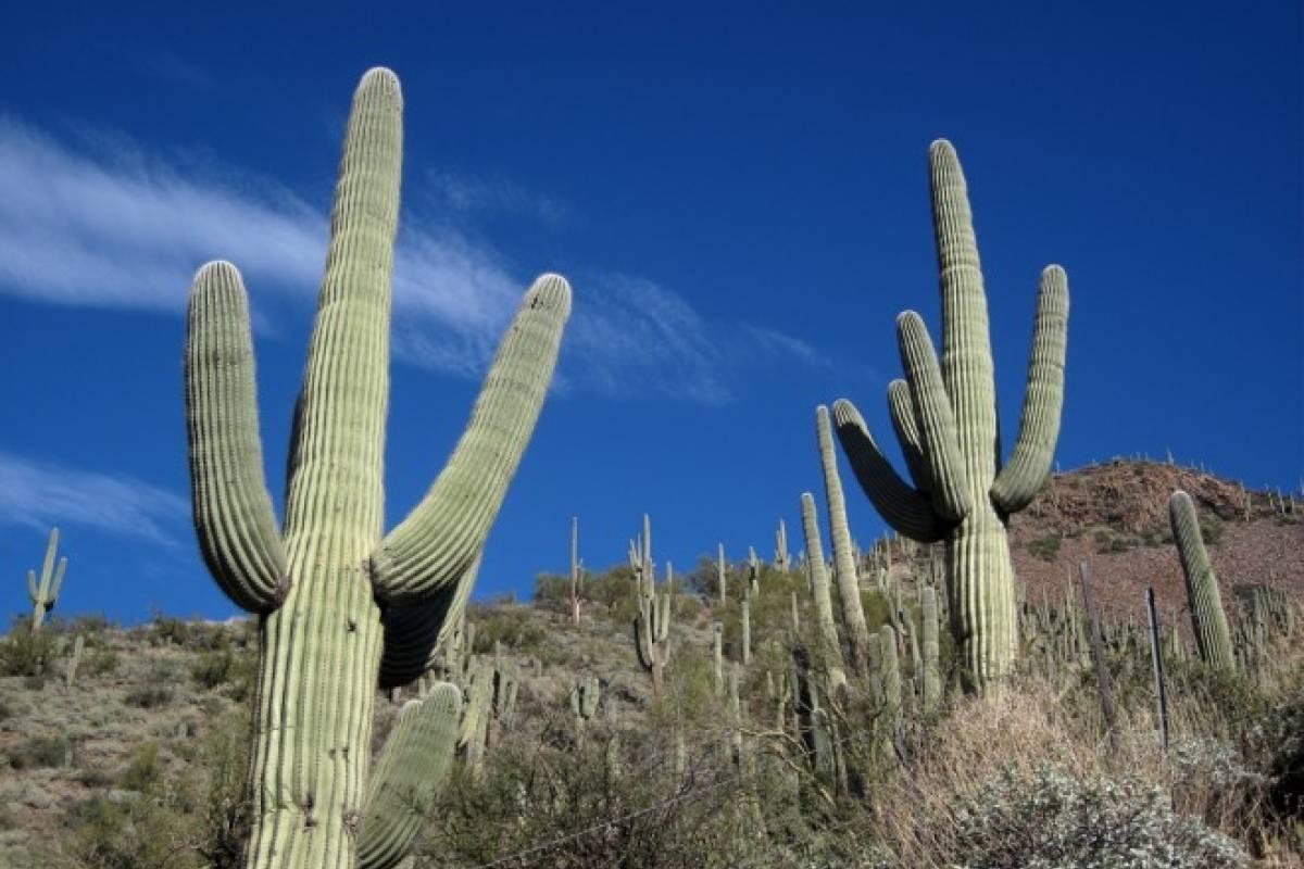 El cactus m s grande del mundo est en m xico veoverde for Cactaceas de chile