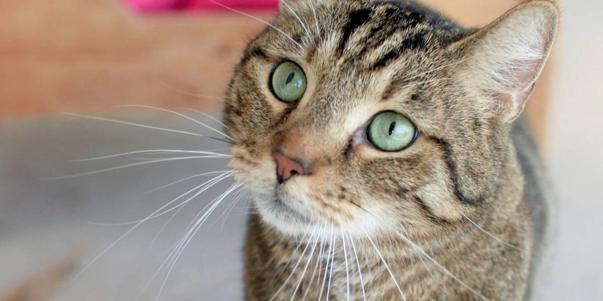 Diez mitos acerca del comportamiento de los gatos