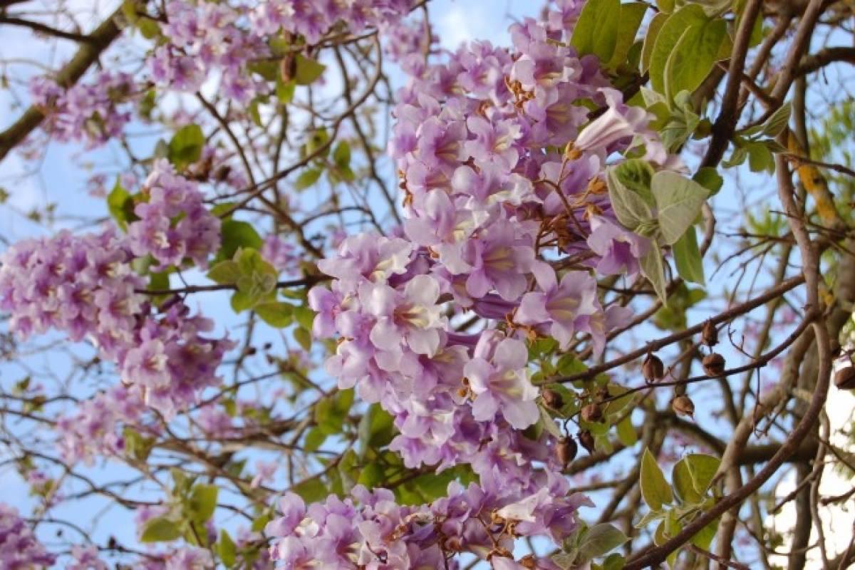 El árbol De La Vida Existe Y Se Llama Paulownia Tomentosa Veoverde