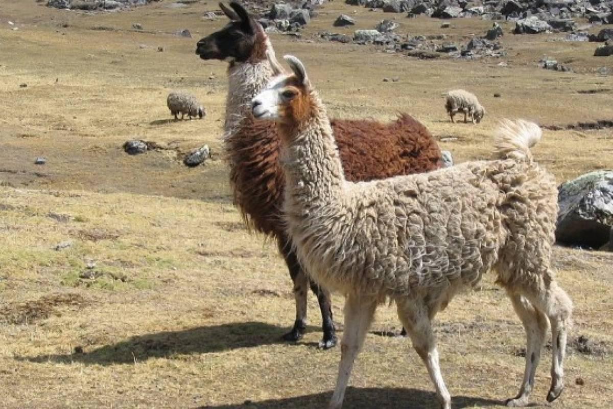 Llamas y alpacas amenazadas por la sequ a y la endogamia for Marmoles y granitos zona norte