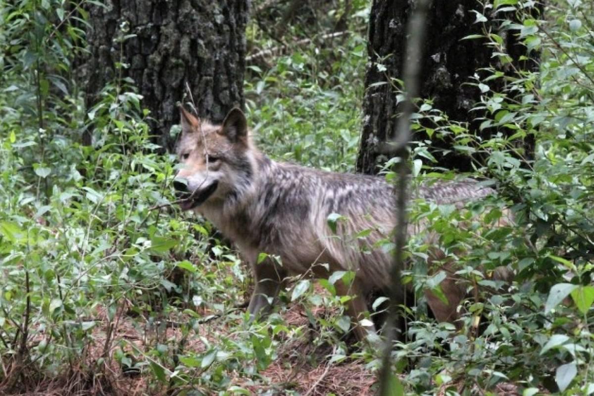 Rehabilitación Del Lobo Gris En Proceso: Nuevos Esfuerzos Para La Conservación Del Lobo Gris