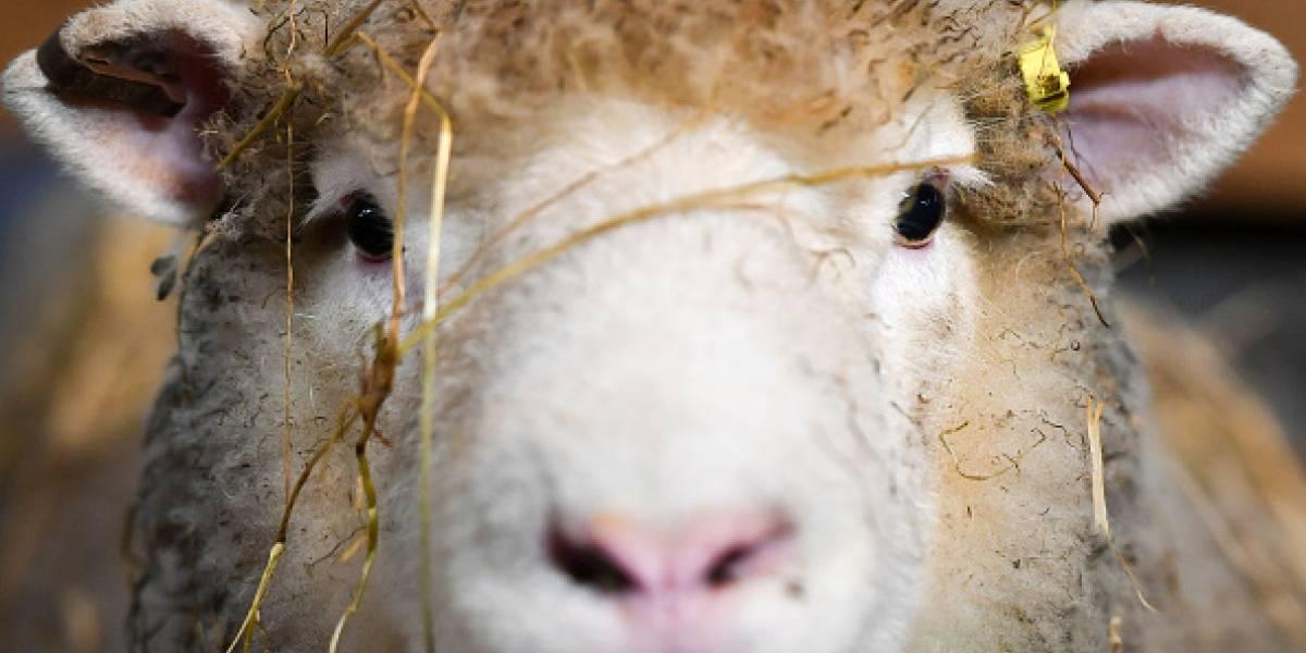 Un paso más cerca del futuro: científicos logran por primera vez crear un híbrido hombre-oveja