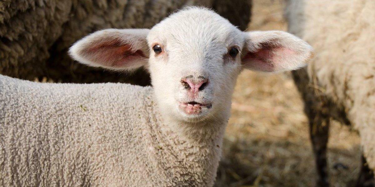 Cientistas criam o primeiro híbrido homem-ovelha