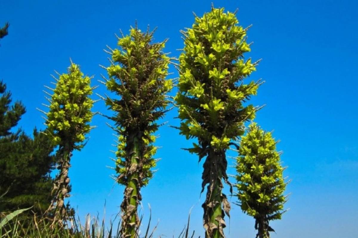 Puya chilensis, la planta que come ovejas