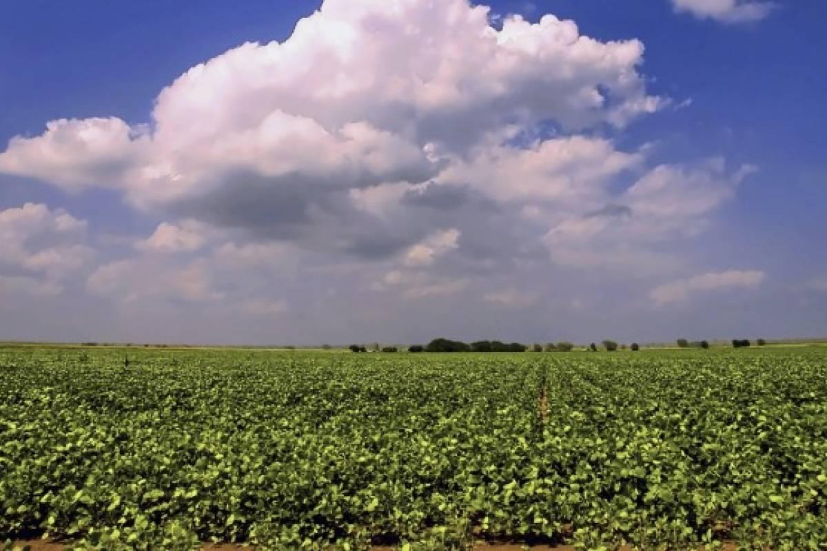 El cultivo de soya y algodón transgénicos no está regulado en México