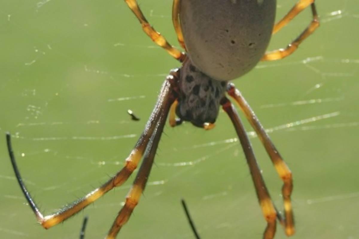 Arañas crecen más y se multiplican más rápido en ciudades que en zonas rurales