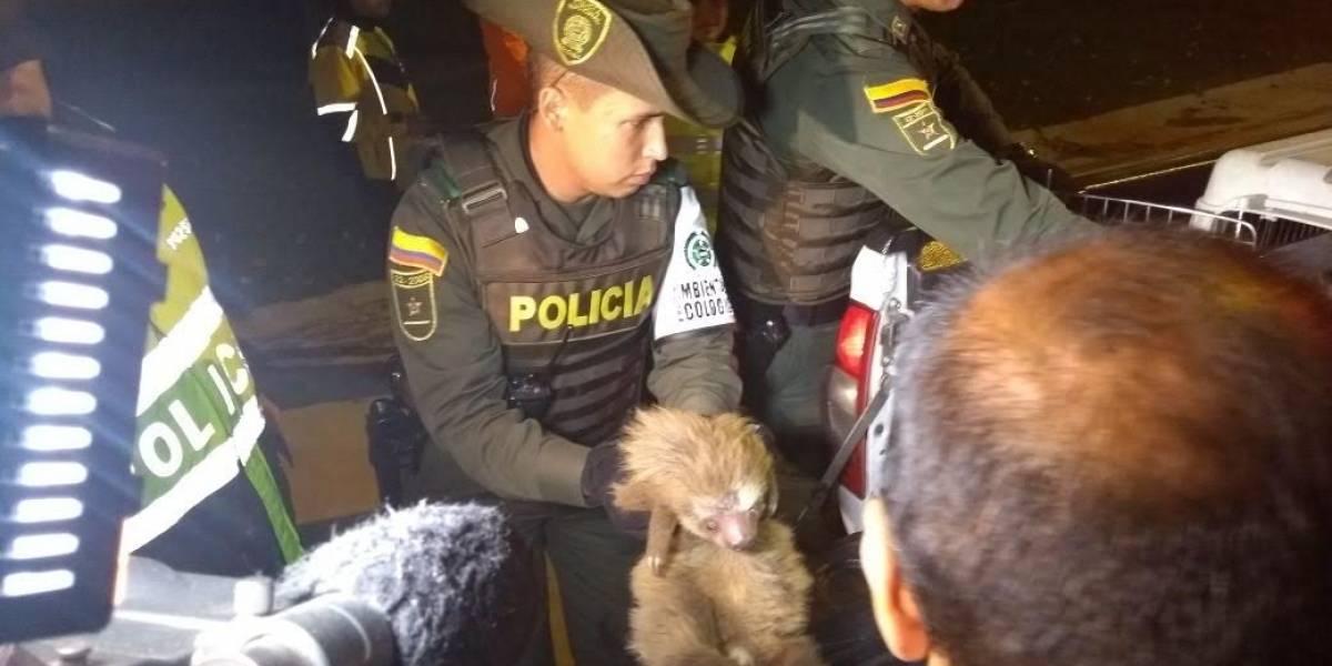 ¡Increíble! Policía rescata un oso perezoso de una vivienda en Bogotá