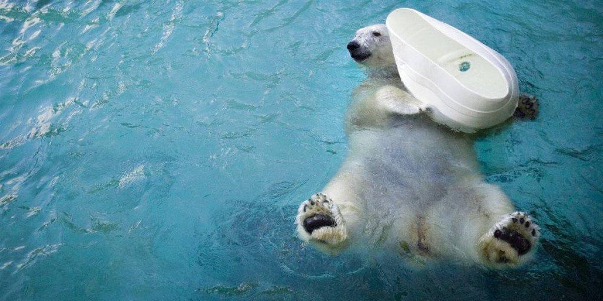 El mundo está de luto: Murió Coldilocks, la osa polar más longeva de Estados Unidos