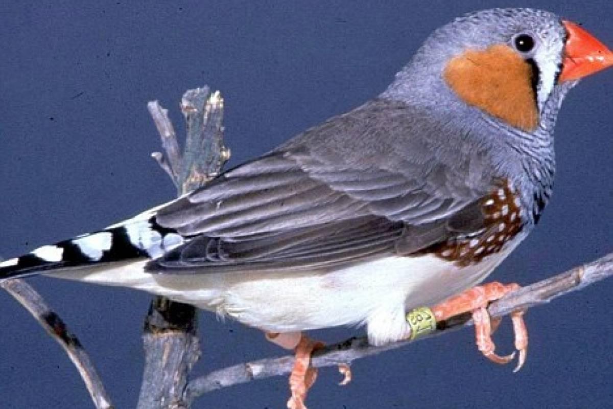 Gay aves