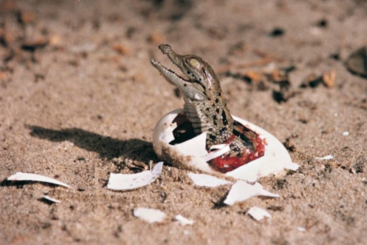 Por qué lo cocodrilos son inmunes a los infartos? - VeoVerde | Nueva ...