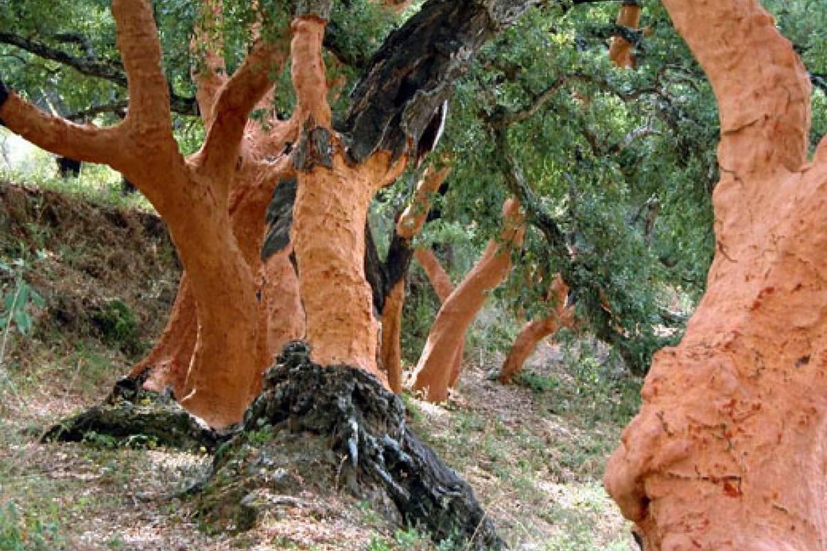 Propiedades del corcho quercus suber veoverde nueva - Propiedades del corcho ...