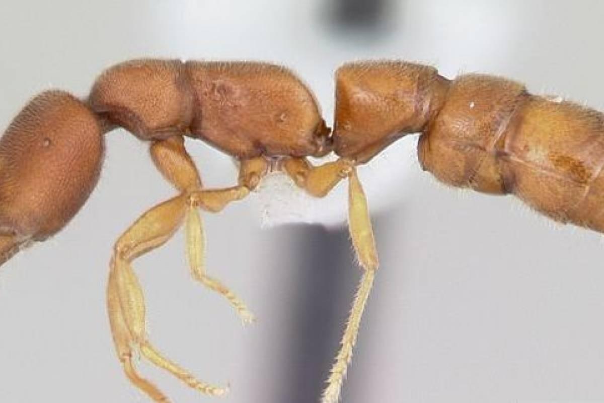 USA: Elaboran un catálogo en línea de las especies de hormigas en el ...