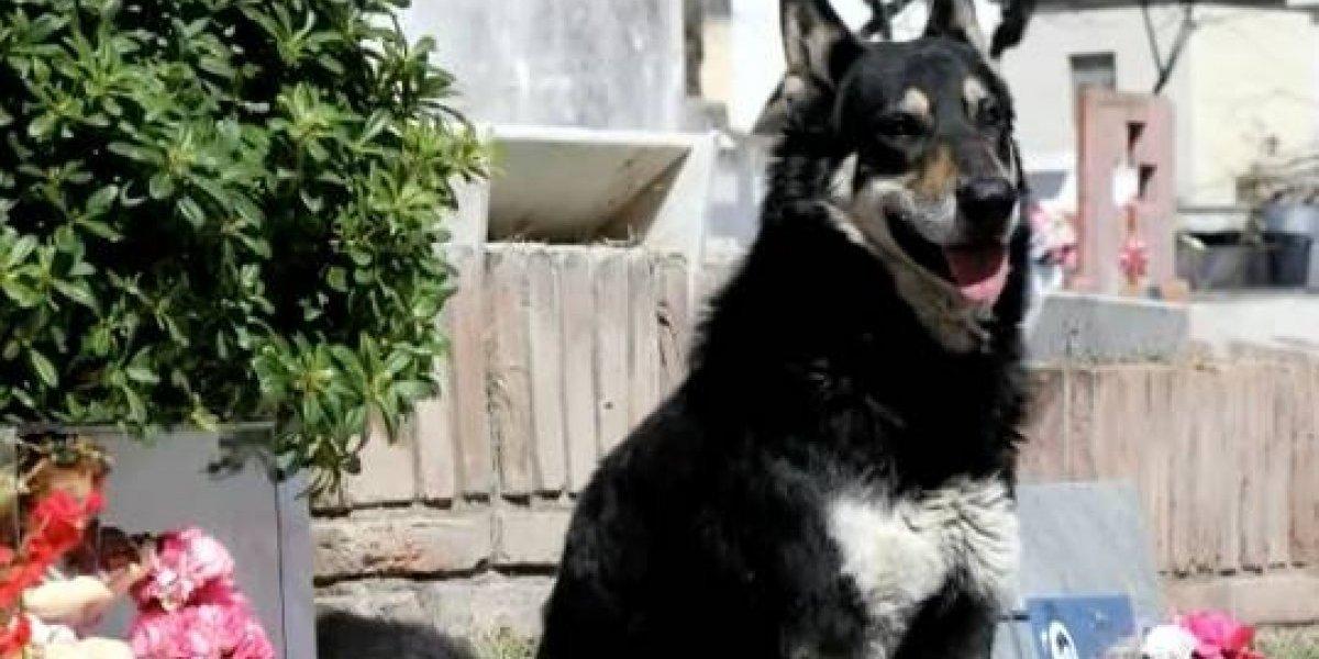 Argentina: murió Capitán, el perro que vivió 10 años en el cementerio junto a la tumba de su dueño