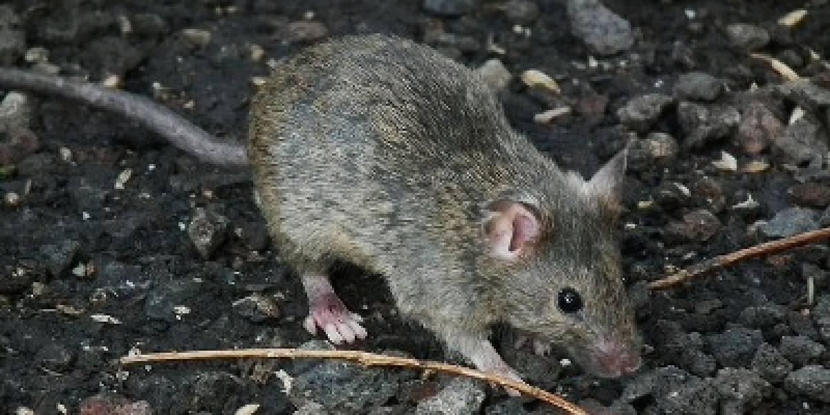 """Historia del """"ratón de un millón de dólares"""" y por qué están movilizando ejército para exterminarlo"""