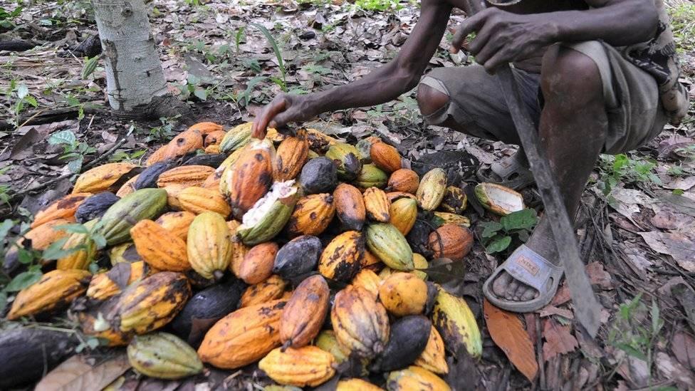 Se espera que el cambio climático tenga un alto impacto en el futuro del chocolate. Getty Images