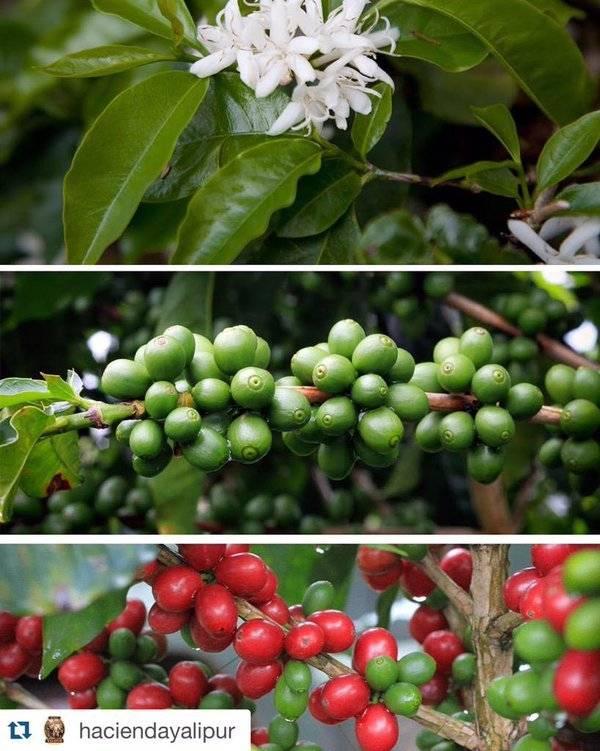 El café es de las mejores cosechas que se da en las altas montañas de Alta Verapaz.