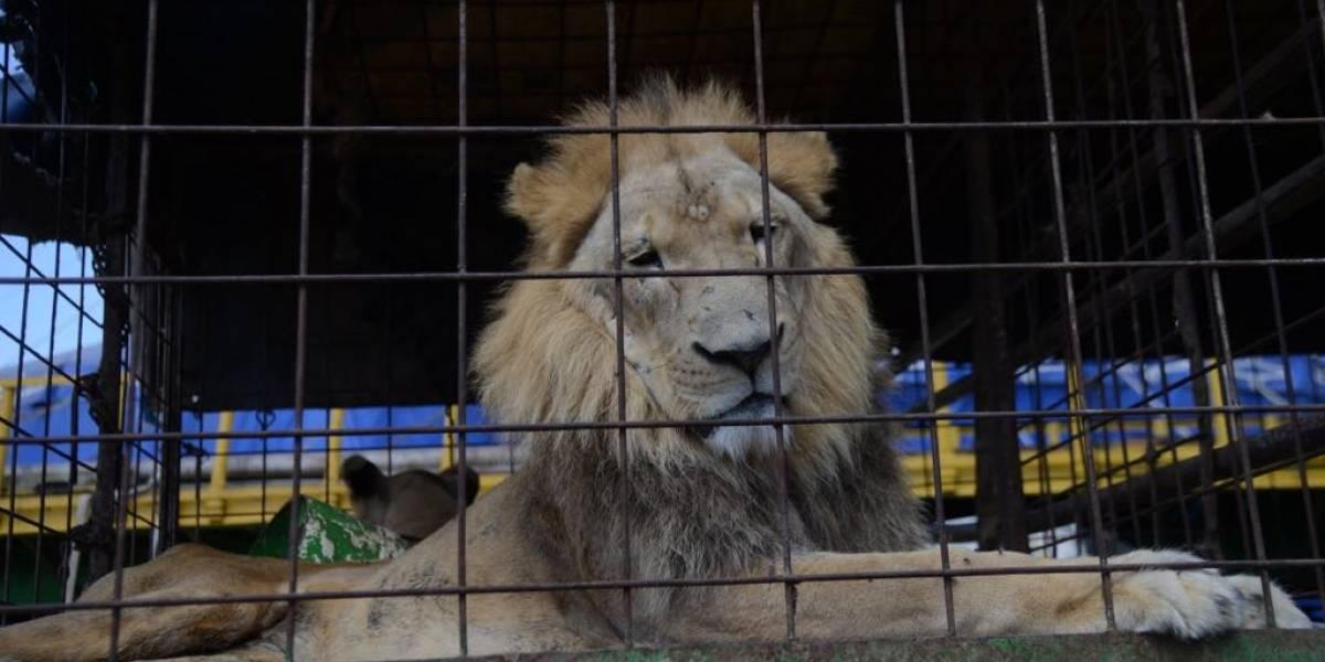 """Los leones """"Guapo"""" o """"Tomás"""" se irán al Zoológico La Aurora"""