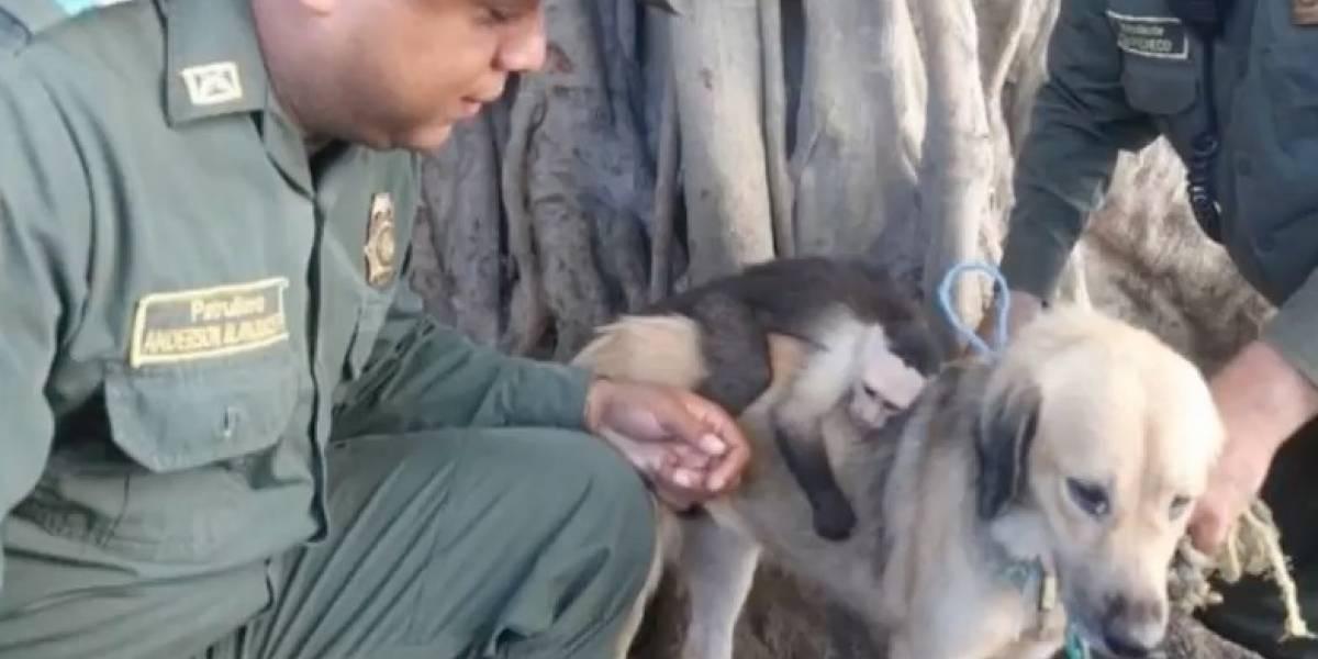 El amor lo puede todo: mono capuchino pasa todo el día abrazado a la perrita que lo adoptó