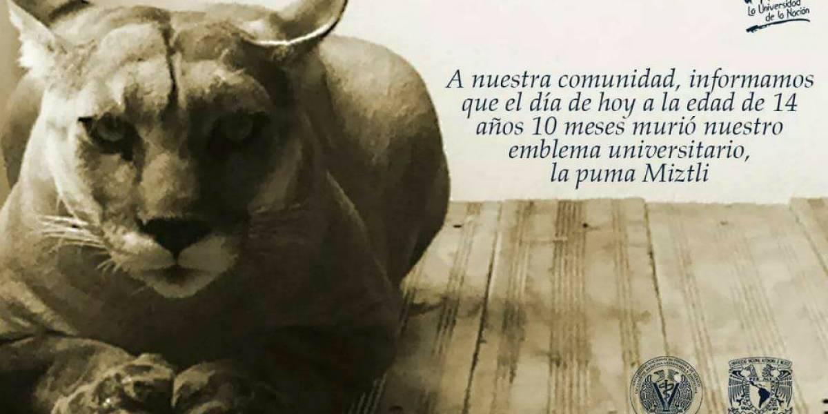 Muere la puma Miztli, emblema de la UNAM