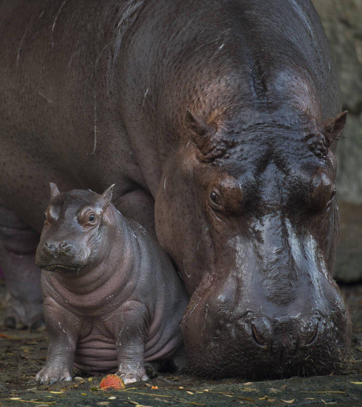 Augustus, el bebé hipopótamo, pesa unas 168 libras. Suministrada