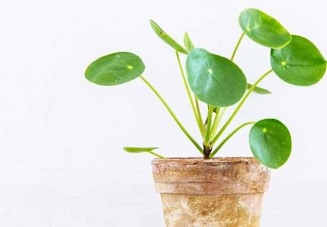 Planta del dinero feng shui tips de feng shui para atraer for Planta del dinero feng shui