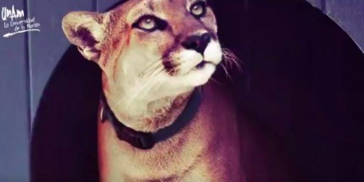 Muere mascota emblemática de equipos deportivos de la UNAM