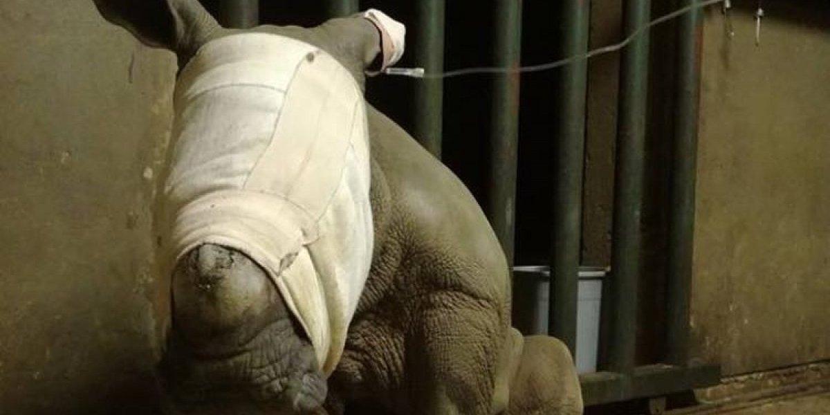 La desgarradora historia de Lottie: la rinoceronte bebé que intentaba tomar leche de su mamá muerta