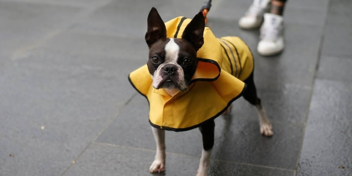 Aspectos a tener en cuenta antes de adoptar un bulldog francés