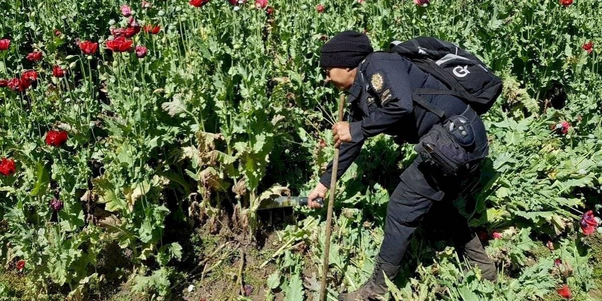 Autoridades han erradicado cultivos ilícitos valorados en más de Q1 mil 230 millones