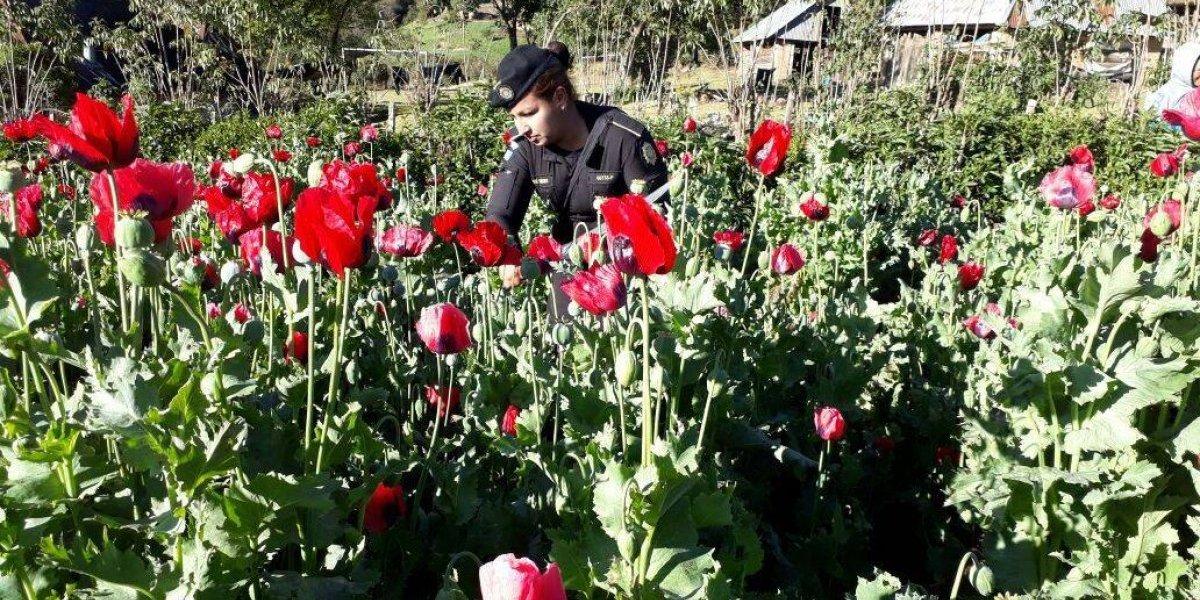Erradican cultivos de amapola valorados en Q230 millones en San Marcos