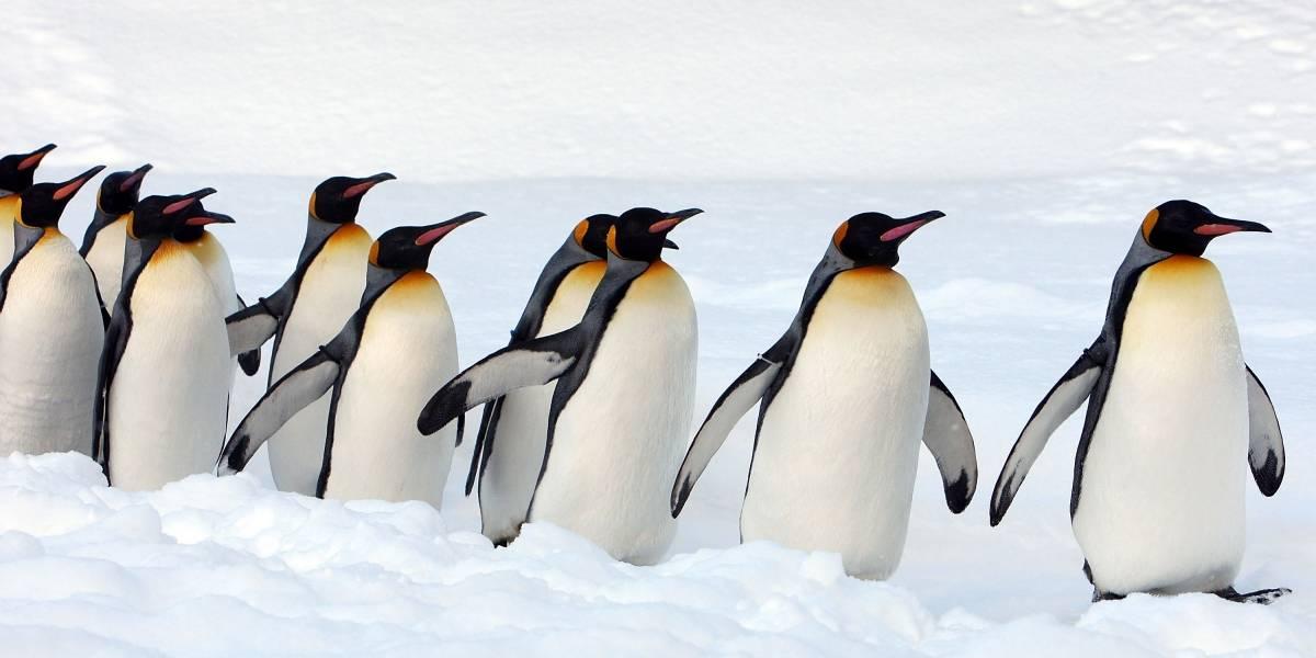 Exilio o muerte: el trágico destino para el pingüino rey a causa del cambio climático