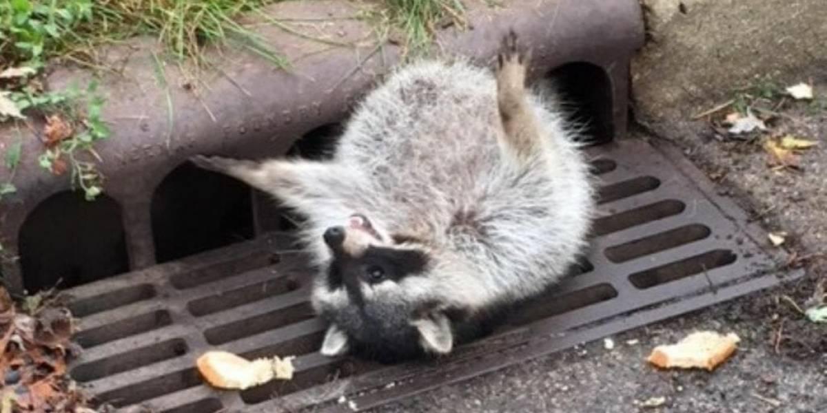 Guaxinim come demais e fica preso em bueiro ao procurar comida