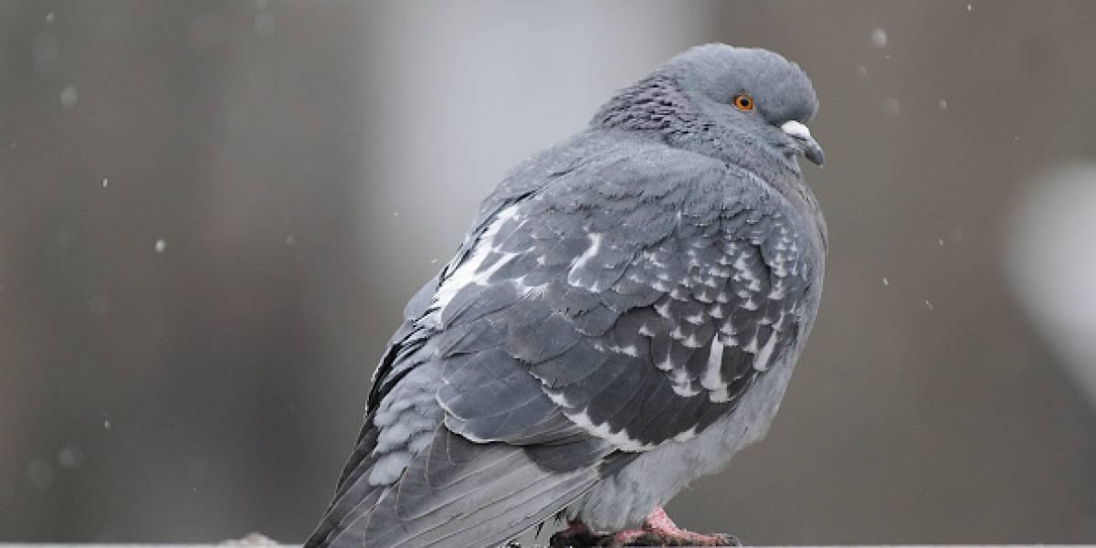 Animalistas españoles dan dura batalla para terminar con macabra tradición de Semana Santa: amarrar palomas a los árboles