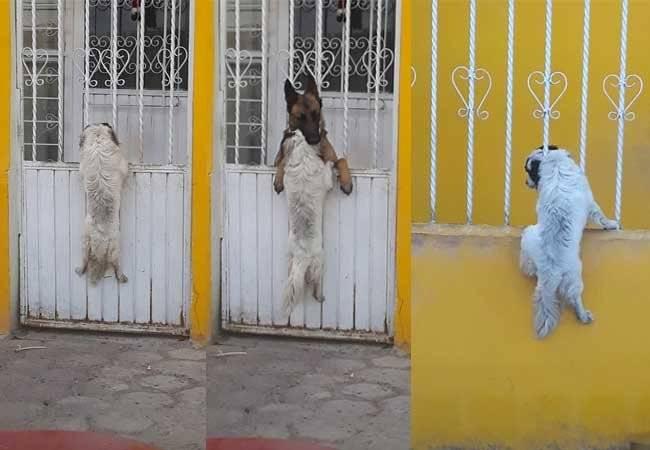 Perros Virales