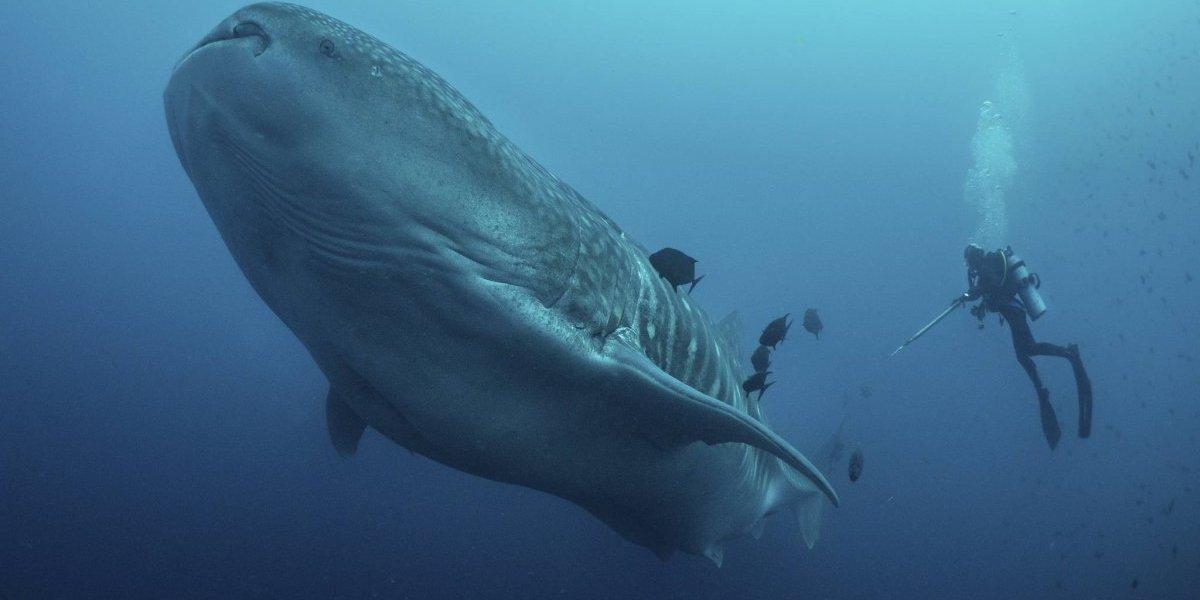 Tratan desentrañar misterios del tiburón ballena