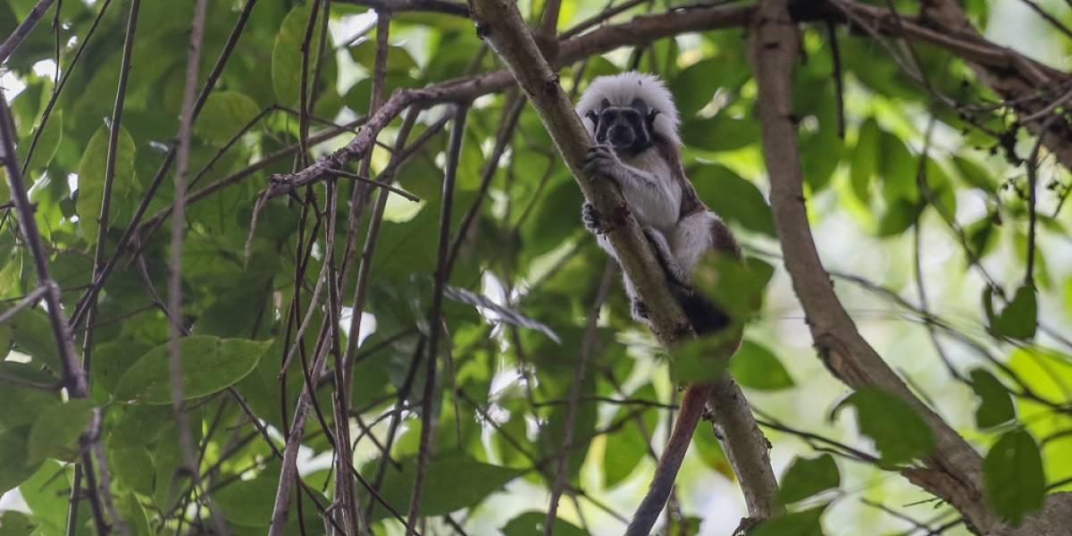 El tití cabeciblanco y el mono aullador tendrán parques temáticos en Atlántico