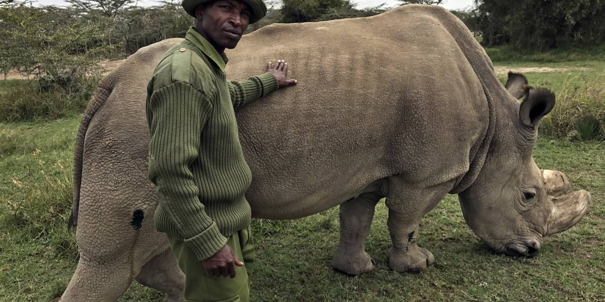 El último rinoceronte blanco en el mundo está a punto de morir