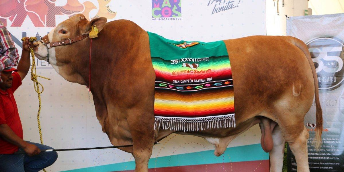 """Toro mexicano es reconocido a nivel mundial por tener el """"mejor material genético"""""""