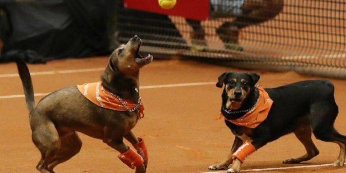 VIDEO: Perros recogepelotas en Abierto de Tenis