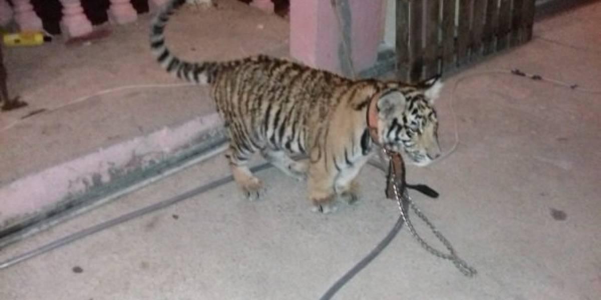 """Profepa asegura cachorro de tigre de bengala que """"paseaba"""" en Salina Cruz"""