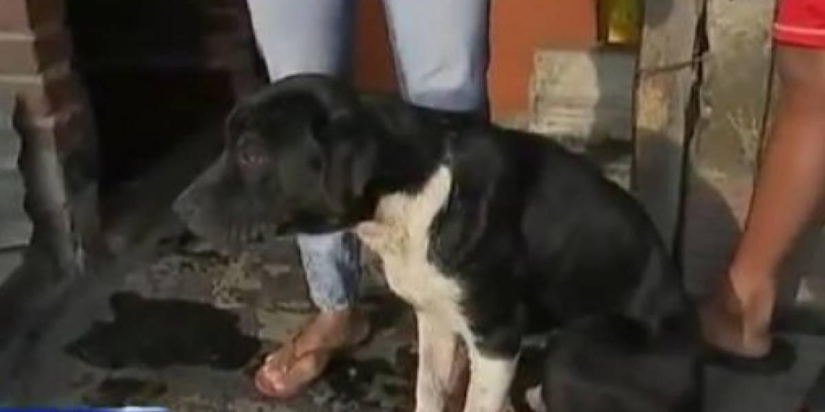 Lanzan a una cachorrita desde una terraza y deberá ser operada por una fractura