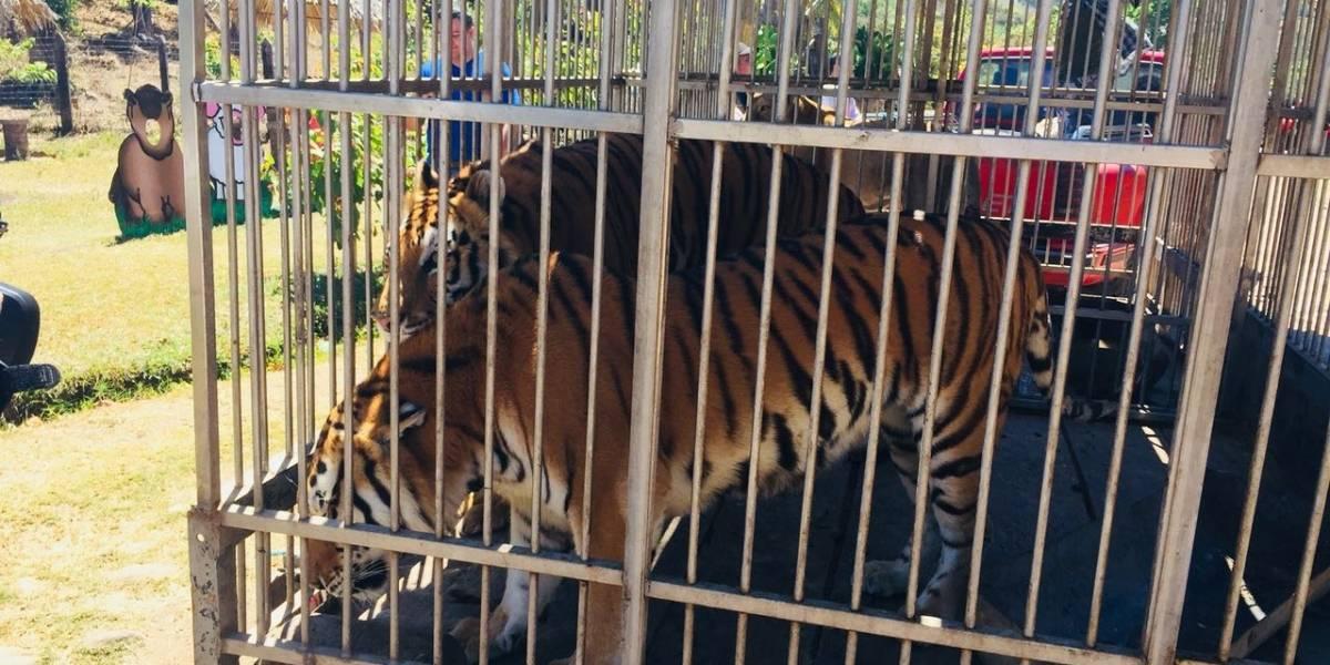 Tres tigres y una leona son trasladados a parque ecológico en Chiquimula