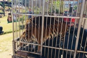Tigres en el Parque Ecológico Cueva de las Minas