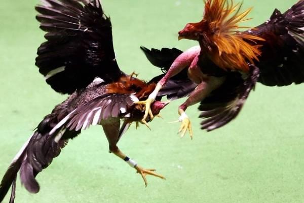 Peleas de Gallos