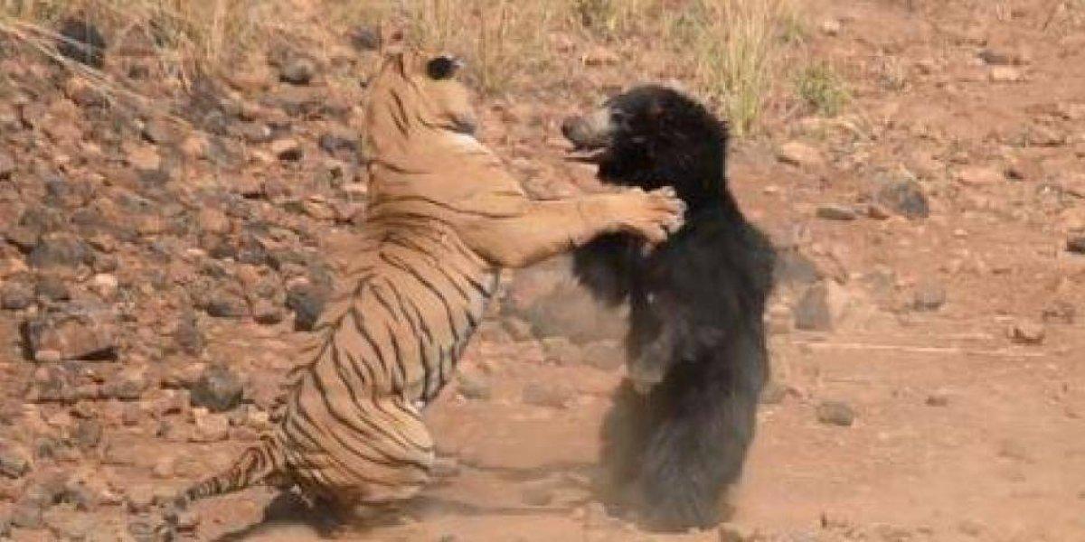 Luta surpreendente entre tigre e ursa que tentava defender filhotes é gravada na Índia