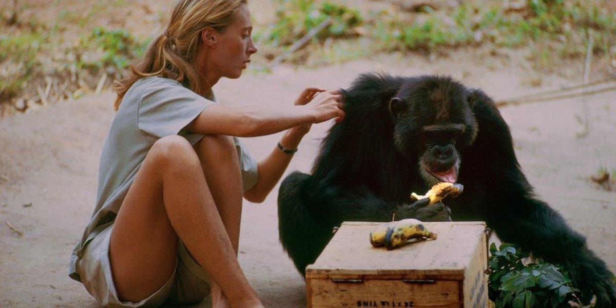 """""""Jane"""", la emotiva historia de una mujer que dedicó su vida a los chimpancés"""