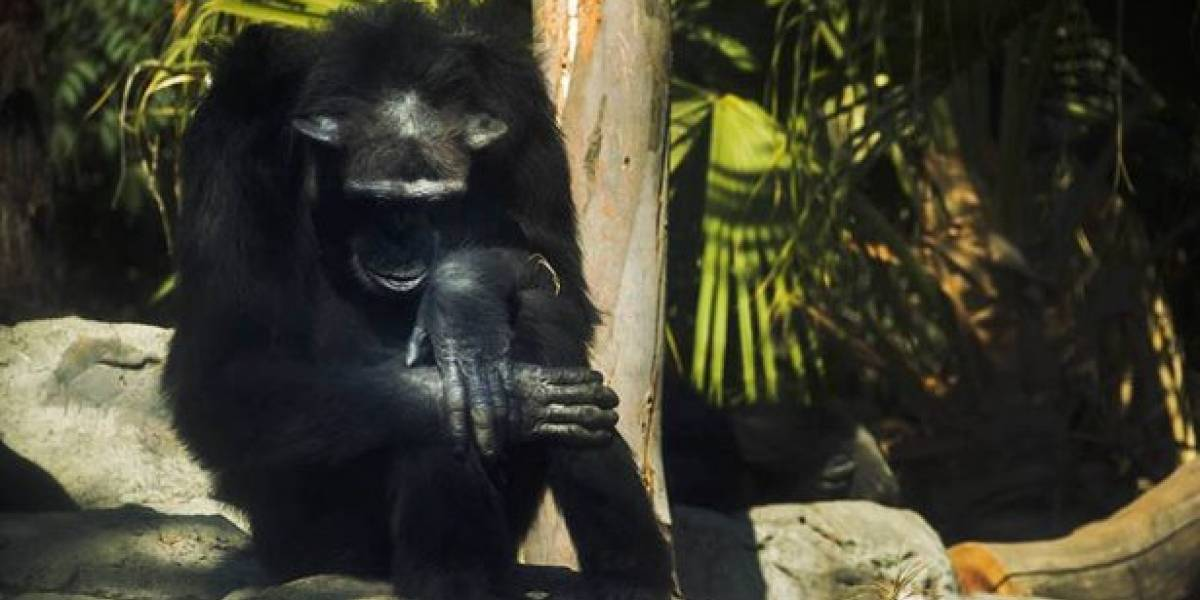 Una semana después, CDMX confirma muerte de chimpancé en Aragón