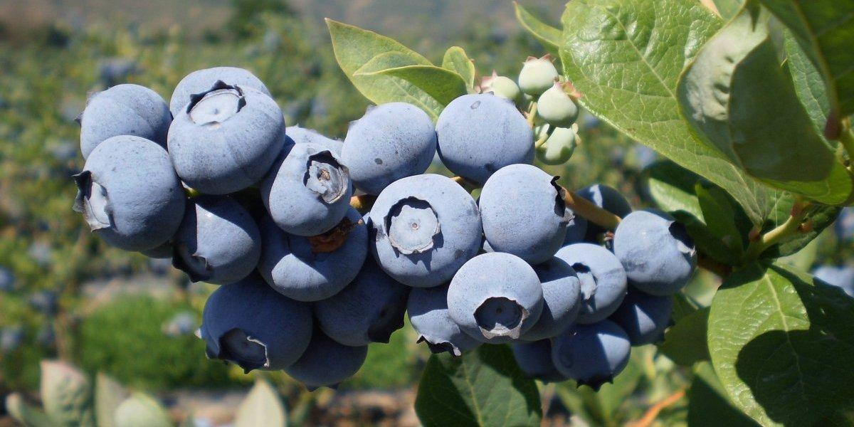 Registró cosecha récord: Arándano chileno estremece mercados internacionales