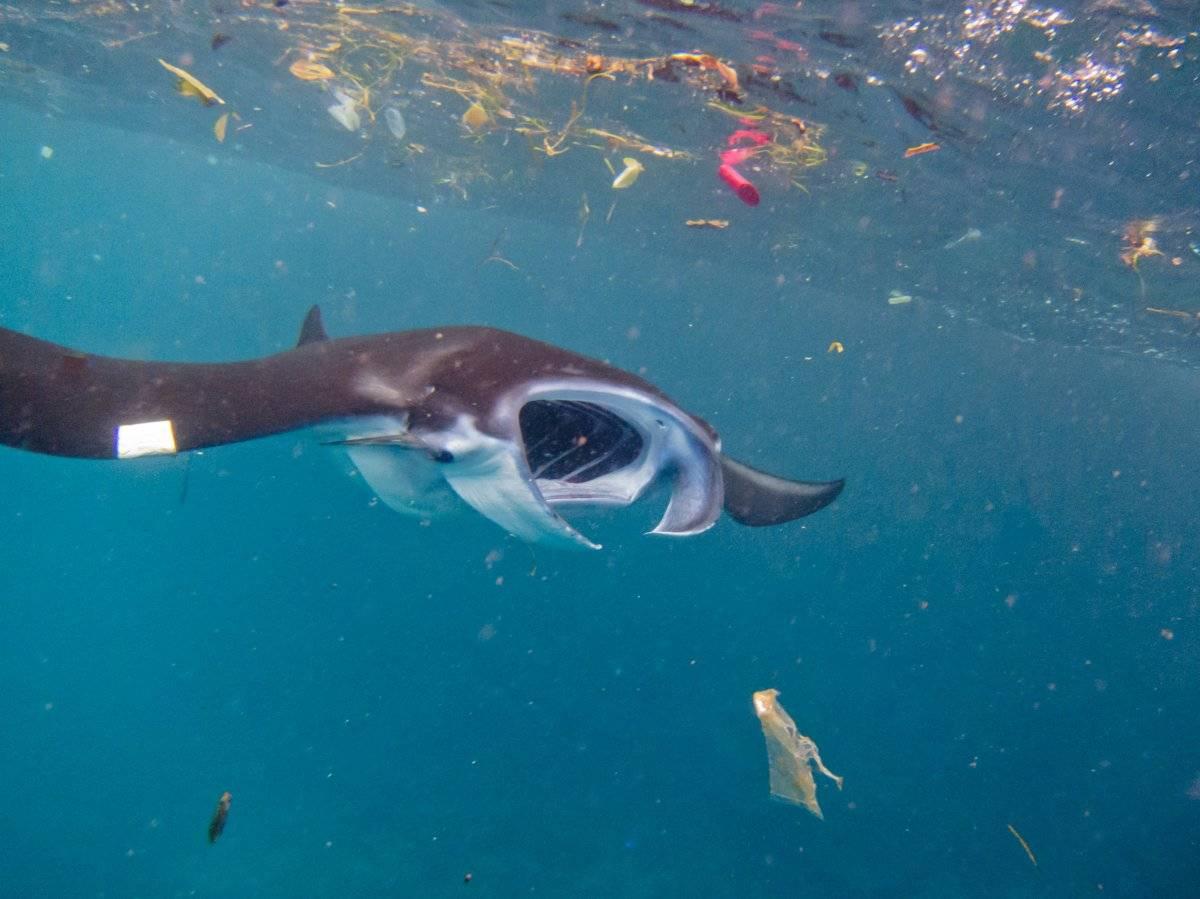 Estudio señala que casi la mitad de las especies de rayas mobula están amenazadas por los microplásticos.