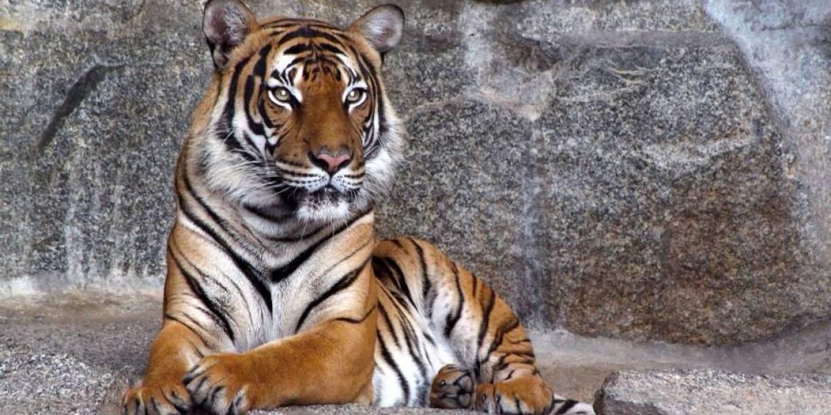 Impactante: captan momento exacto en que tigre se come vivo a cuidador de zoológico ante la mirada de espanto de los visitantes
